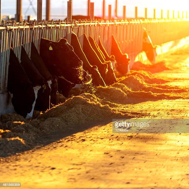 Cows Feeding at sunset