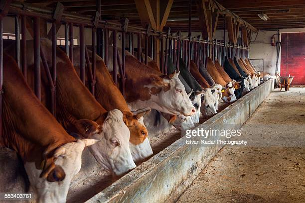 cows feeding from trough on dairy farm - livestock stock pictures, royalty-free photos & images