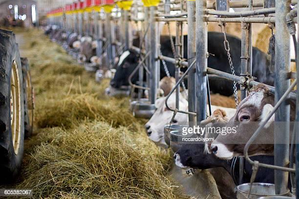 Cows feeding in barn on dairy farm