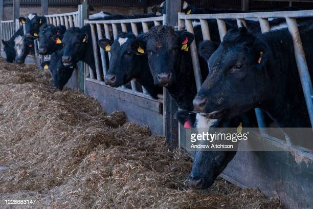 Cows feeding on hay through railings in a cow shed on a farm on 17th February 2020 in Anglesey, North Wales, United Kingdom. During the winter cows...