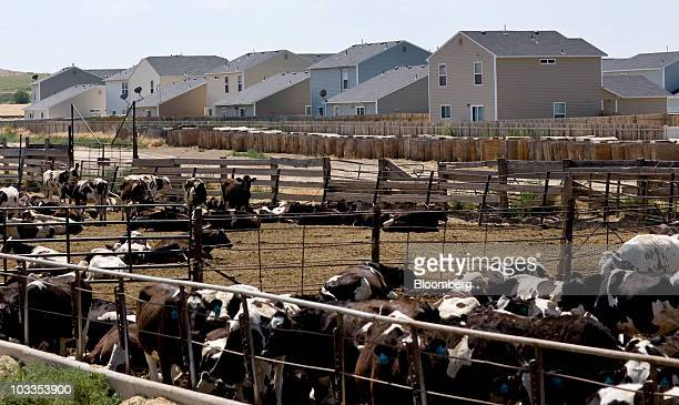 Cows from a nearby dairy farm sit in pens near homes in Charter Pointe a development where more than half of the homes listed for sale are bankowned...