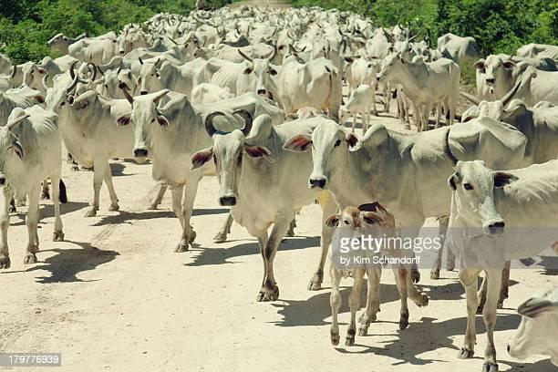 Cows from El Pantanal