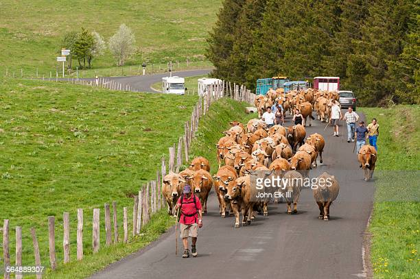 Cows going to summer pasture
