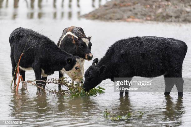 Cows graze in a flooded paddock on May 31, 2021 in Kaiapoi, New Zealand. Heavy rain across the Canterbury region has caused rivers to surge, with a...