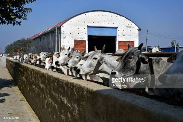 Cows graze in a pen near a fodder barn at the Sri Krishna Gaushala on the outskirts of New Delhi India on Sunday Jan 21 2018 The nursing home offers...