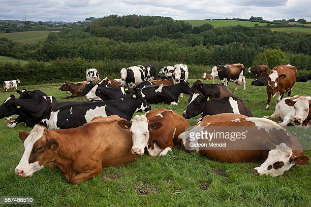 Cows graze in a scenic field at Riverford Farm in Devon. Riverford Farm is one of the best known and most successful organic farms in the UK owned by...