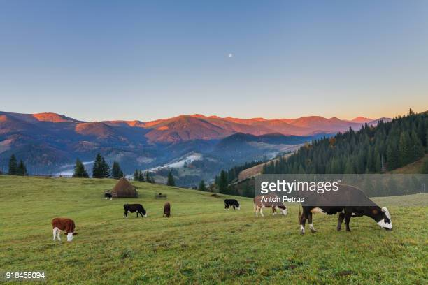 cows graze in the mountains at dawn - pasture stock pictures, royalty-free photos & images