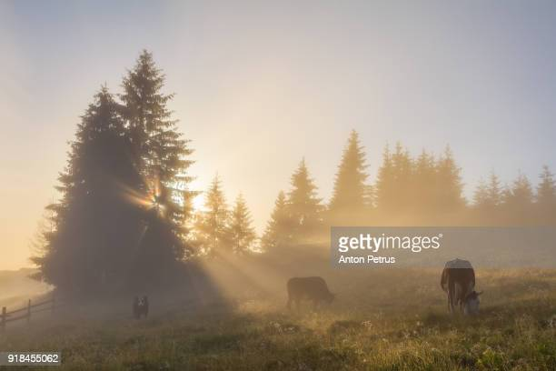 Cows graze in the mountains at misty dawn