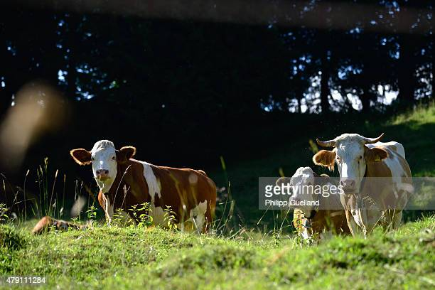 Cows graze on a pasture in the Bavarian Alps on June 24 2015 near GarmischPartenkirchen Germany The Bavarian Alps are a popular summer tourist...