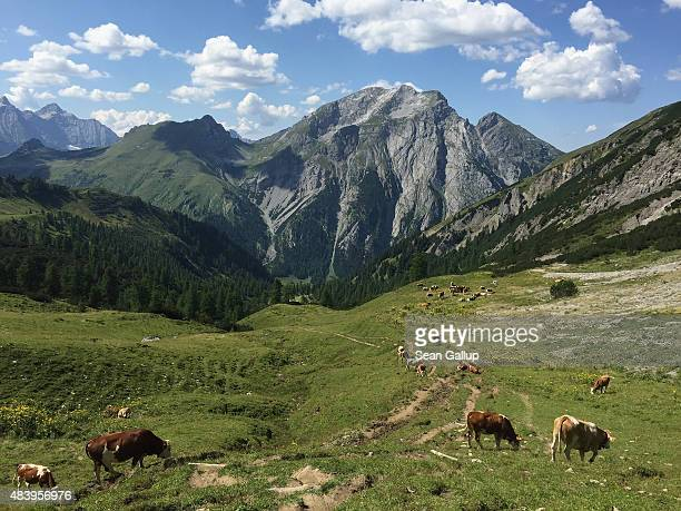 Cows graze on an alpine meadow in the Karwendel mountain range on August 9, 2015 near Eng Alm, Austria. The Karwendel mountain range, part of the...