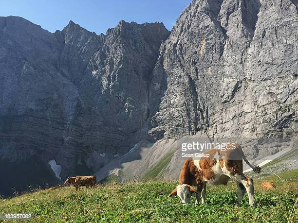 Cows graze on an alpine meadow near Falkenhuette mountain hut in the Karwendel mountain range on August 9, 2015 near Eng Alm, Austria. The Karwendel...