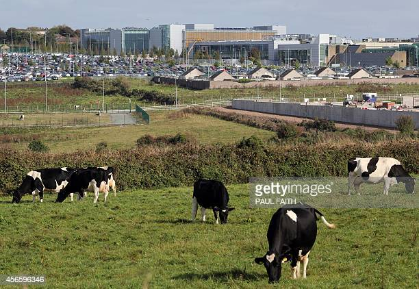 Cows graze on land beside The Apple campus in Cork southern Ireland on October 2 2014 Perched on top of a hill overlooking the Irish city of Cork...
