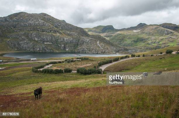 Cows graze on the site of the proposed Conga gold mine where Newmont mining Co has faced local resistance in its plans to expand mining activity in...