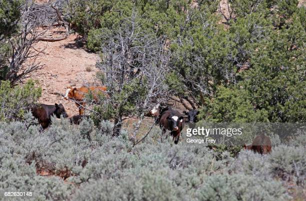 BLANDING UT MAY 12 Cows grazes on the land in the Bears Ears National Monument on May 12 2017 outside Blanding Utah Many locals fear the new monument...