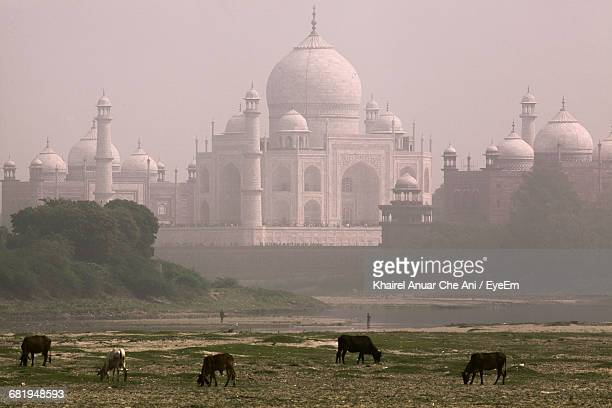 Cows Grazing Against Taj Mahal