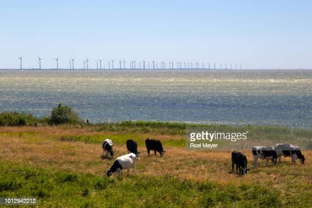 Cows grazing along Dutch Lake IJssel