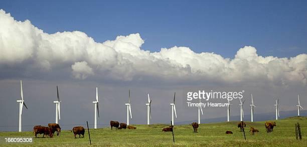 cows grazing among wind generators - timothy hearsum stockfoto's en -beelden