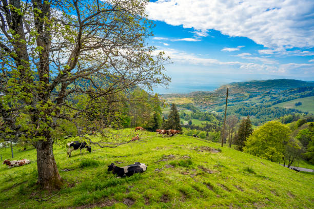 Cows grazing and resting in alpine meadows near village of Les Avants, Lake Geneva and city of Montreux in backdrop