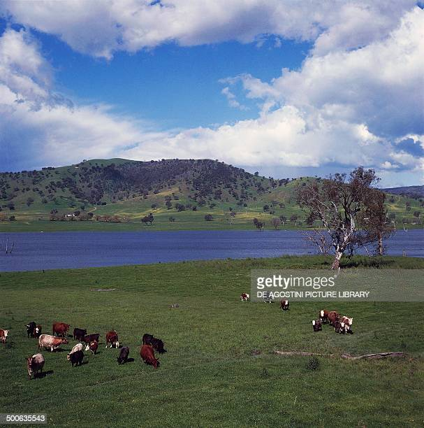 Cows grazing at Lake Hume , Great Dividing Range, Victoria, Australia.
