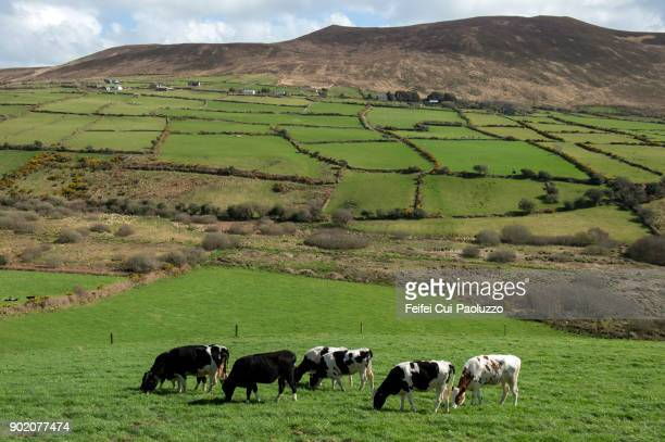 cows grazing at lios póil, county kerry, ireland - eco tourism stock pictures, royalty-free photos & images