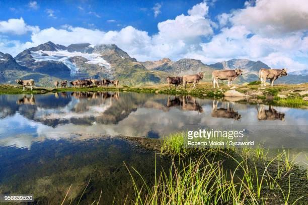 cows grazing, bugliet valley, switzerland - kanton graubünden stock-fotos und bilder