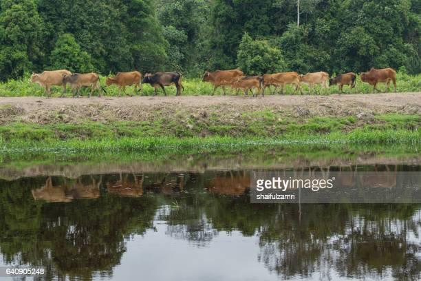 cows grazing for green grass reflected in river. a typical malaysian rural scene. - shaifulzamri foto e immagini stock