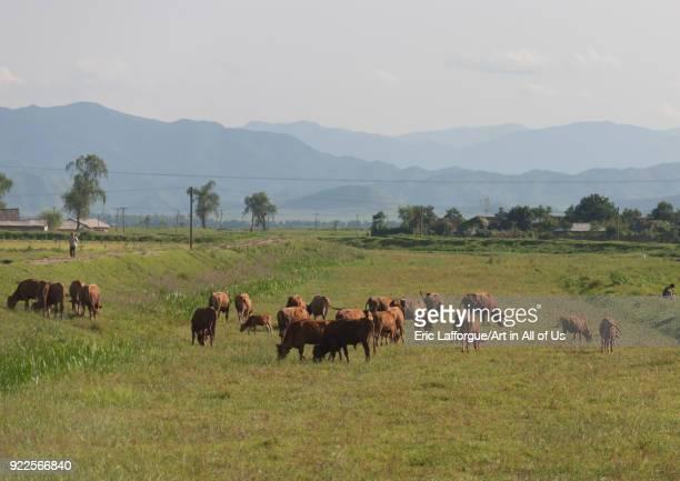 Cows grazing green fields South Pyongan Province Chonsam Cooperative Farm North Korea on September 12 2011 in Chonsam Cooperative Farm North Korea