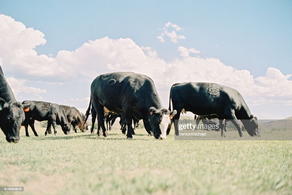 Cows grazing in a field, Heber, Utah, America, USA : Stock Photo