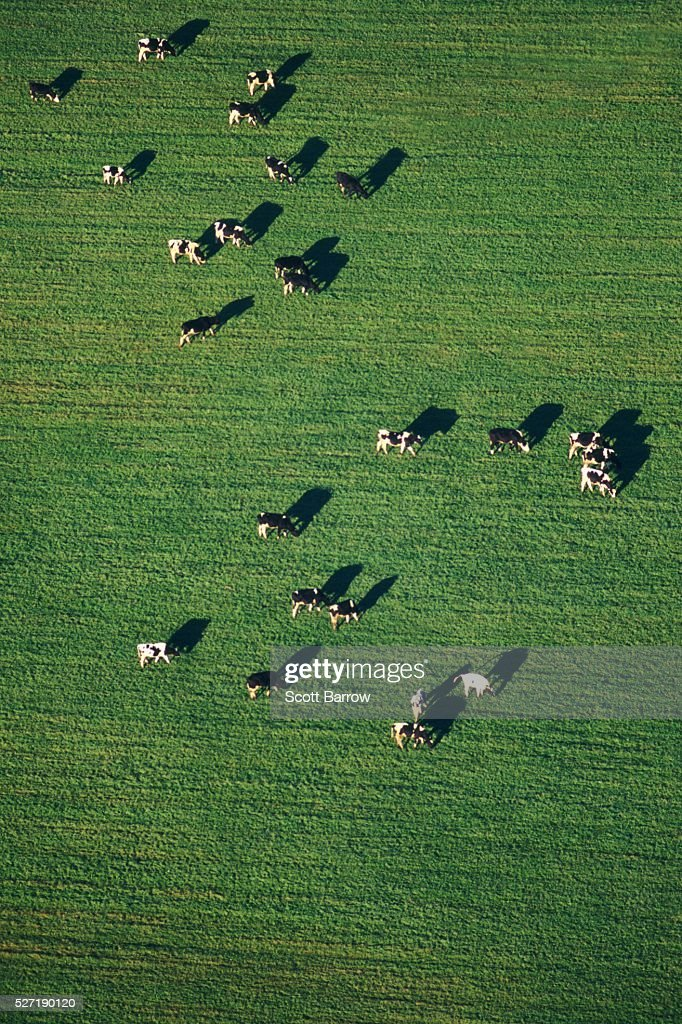 Cows grazing in a field : Bildbanksbilder