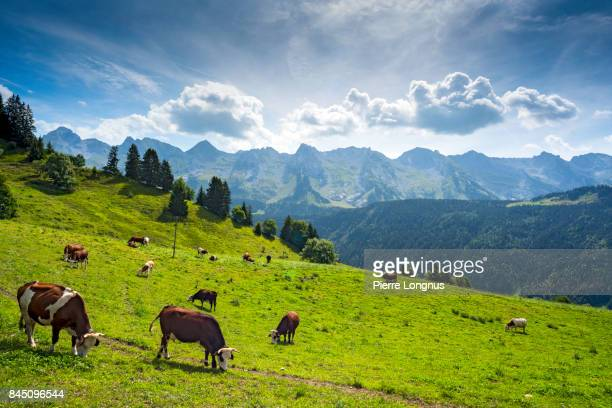cows grazing in altitude on an alpine meadow above the village of le grand-bornand, near the aravis mountain range, haute savoie, france - haute savoie fotografías e imágenes de stock