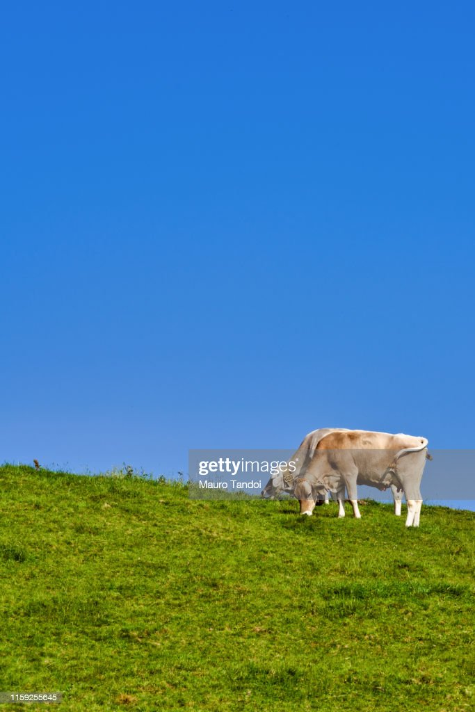 Cows grazing in an open meadow, Bergamo Province Mountains, Italy : Foto stock