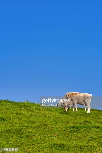 cows grazing in an open meadow, bergamo province mountains, italy - mauro tandoi stock pictures, royalty-free photos & images