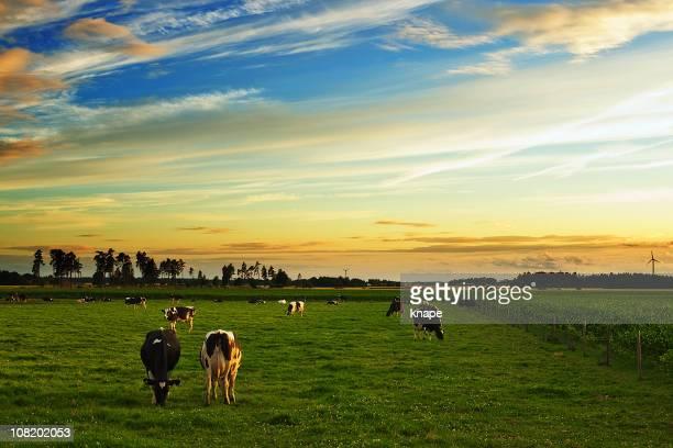 cows grazing in field at sunset - grazen stockfoto's en -beelden