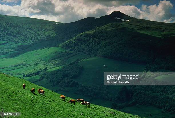 Cows grazing in field in rolling country landscape