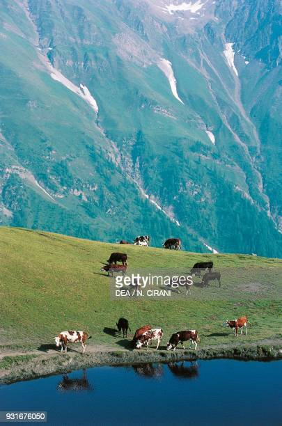 Cows grazing in front of an Alpine lake Mont de La Saxe Aosta Valley Italy
