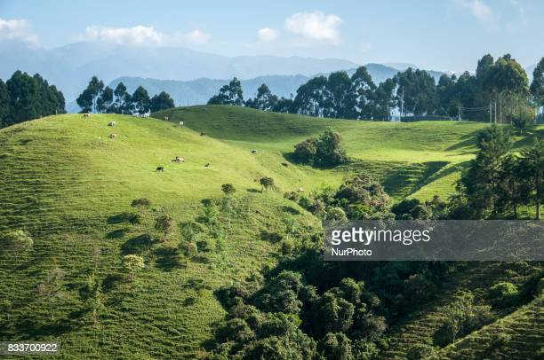 Cows grazing in grassy hills near Salento Colombia on 26 January 2012