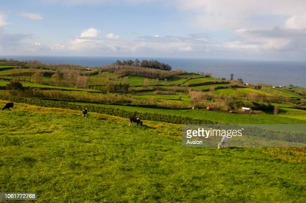Cows grazing in green pastures on Sao Miguel Island in the Azores Portugal