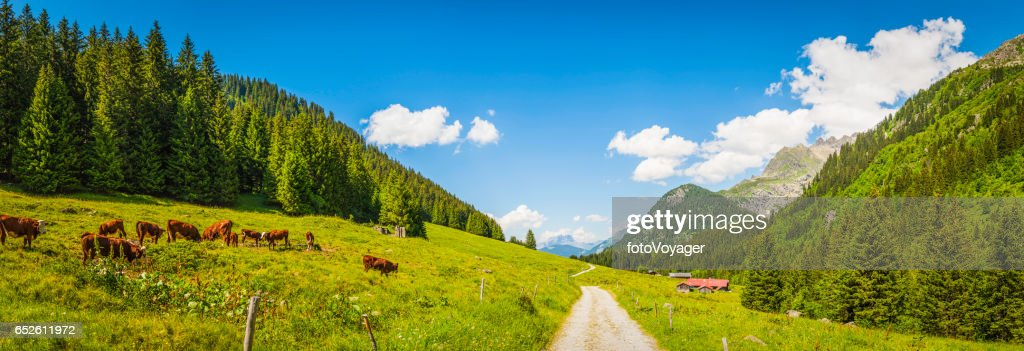 Cows grazing in idyllic Apline meadow valley summer Alps panorama : Stock Photo