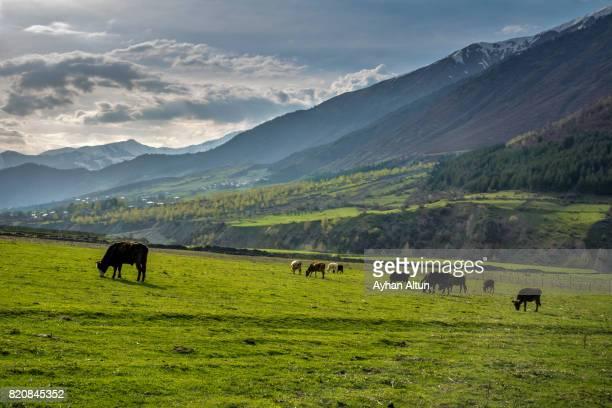 Cows grazing in idyllic landscape,Chvabiani village,Mestia, Svaneti region,Georgia