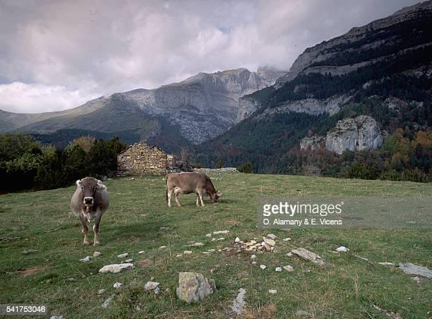 Cows Grazing in Mountainous Fields