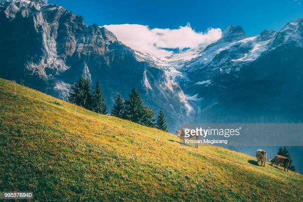 cows (bos taurus) grazing in steep pasture in alps mountains, grindelwald, switzerland - suisse photos et images de collection