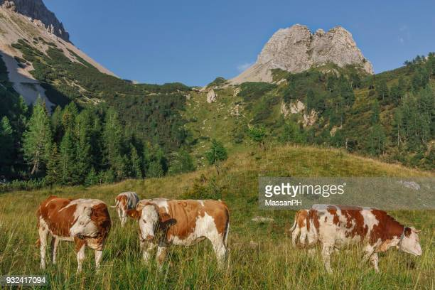 Cows grazing in the heights on the Friuli Alps