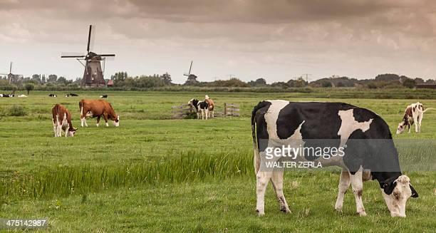 Cows grazing, Kinderdijk, Olanda, Amsterdam