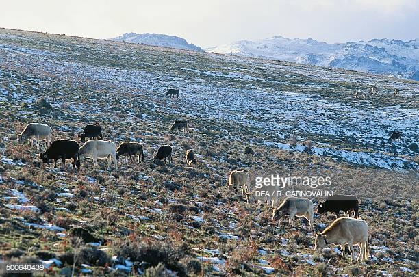 Cows grazing National Park of the Gulf of OroseiGennargentu Sardinia Italy