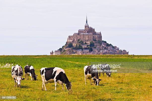 Cows Grazing near Mont-St.-Michel at Low Tide