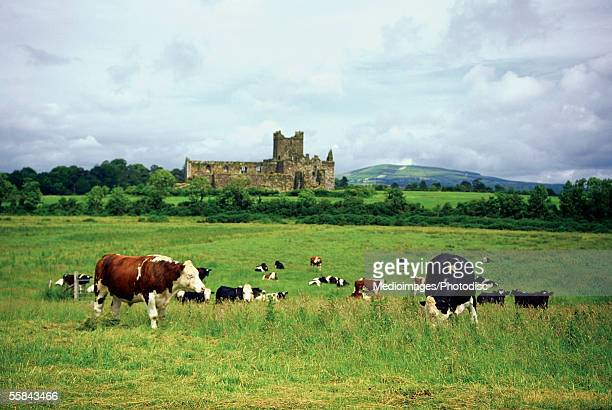 cows grazing on a field, dunbrody abbey, waterford, ireland - county waterford ireland stock pictures, royalty-free photos & images