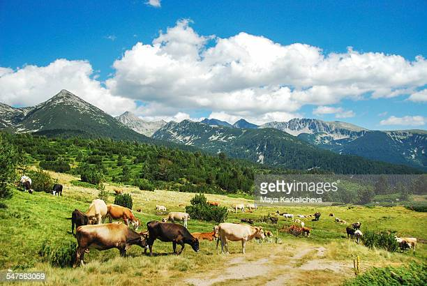 Cows grazing on a mountain meadow