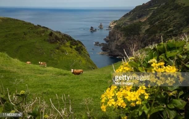 cows grazing on coastal hillside - azores fotografías e imágenes de stock
