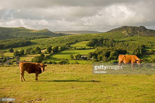 Cows grazing on Dartmoor in evening light