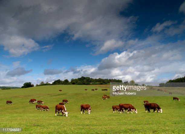 cows grazing on farmland in the wye valley, herefordshire - farm stock pictures, royalty-free photos & images